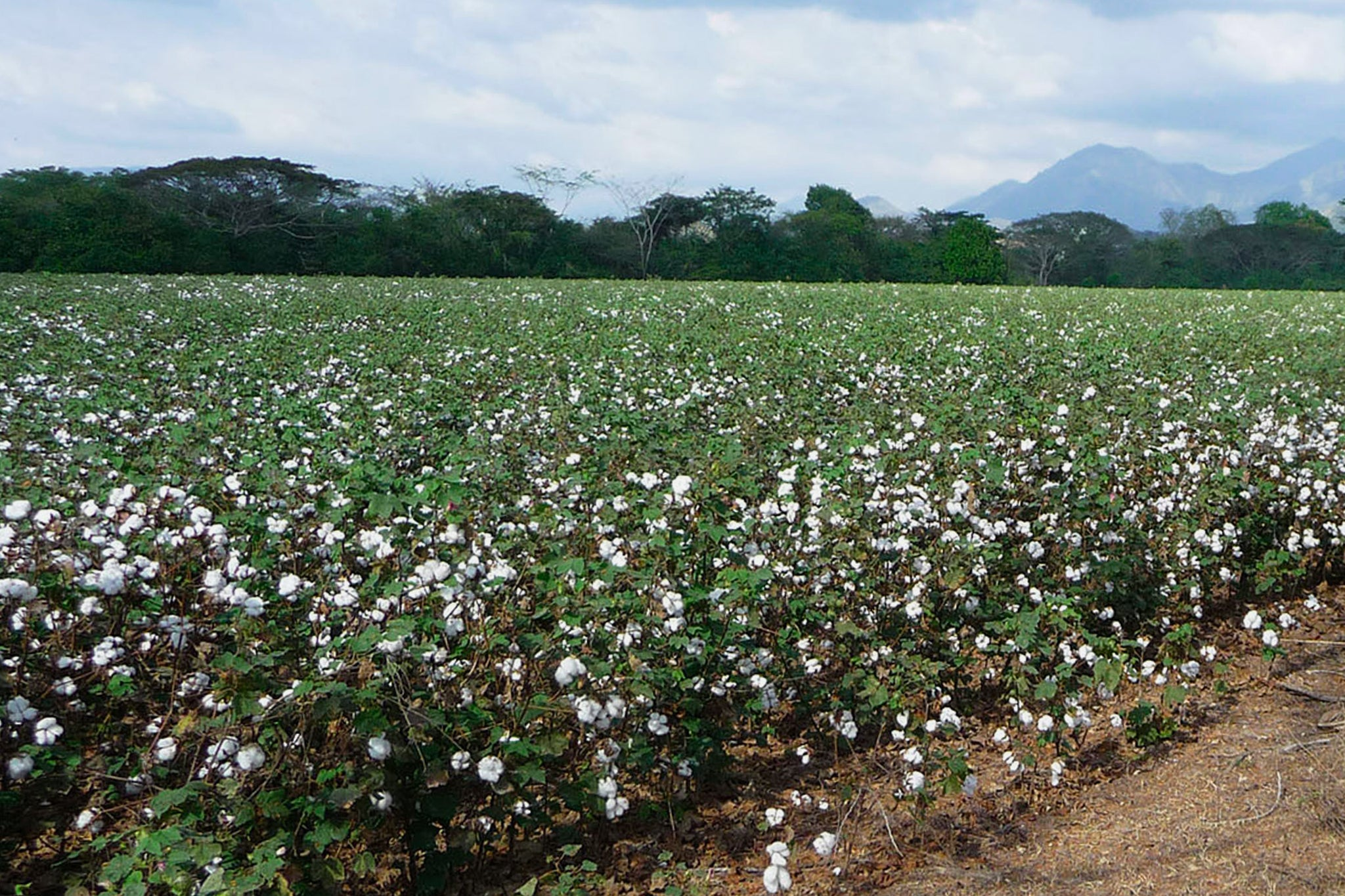 Organic Cotton farms In India - Arnhem Byron Bay