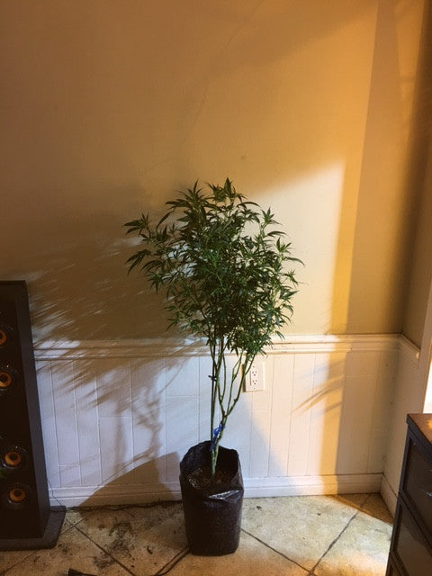 WHITE FIRE OG #43 LARGE PLANTS
