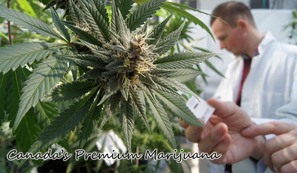 What is a Marijuana Hybrid