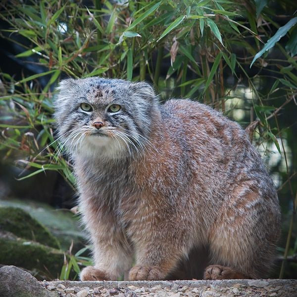 Oh hello Manul, I think we love you
