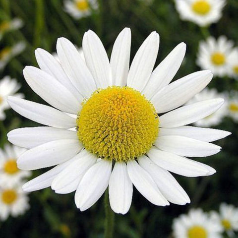 chamomile roman essential oil for wasp sting