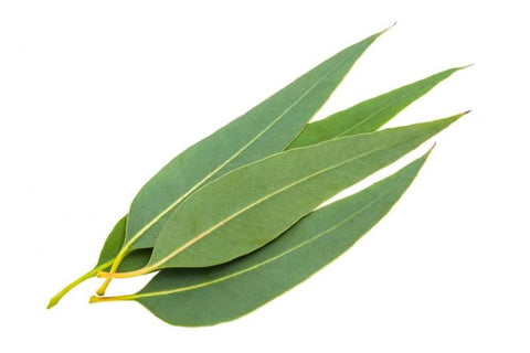 eucalyptus essential oil for wasp sting
