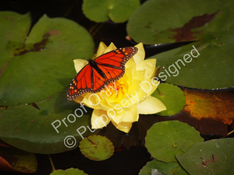 Butterfly on a Flower Lily Pad -Fine Art Print Various Size