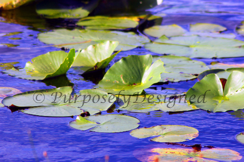 Floating Lilly Pads Print-- Fine Art Print