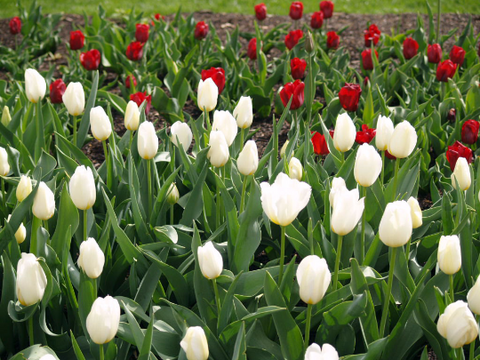 Field of Red and White Tulips-Fine Art Print