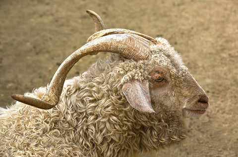 Mohair vs Merino wool. Mohair comes from the Angora goat.
