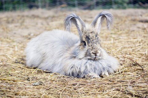 Angora rabbit produces much finer wool than Merino.