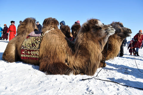 Most camel hair for clothing comes from the Bactrian camel breed.