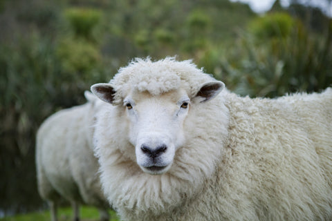 Merino wool vs wool. Merino is a breed of sheep that produces lightweight, soft wool.