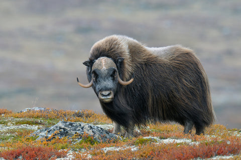The musk ox produces qiviut.