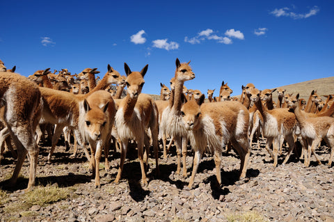 A flock of vicuñas in the wilds of South America. Vicuña is the most rare wool in the world.