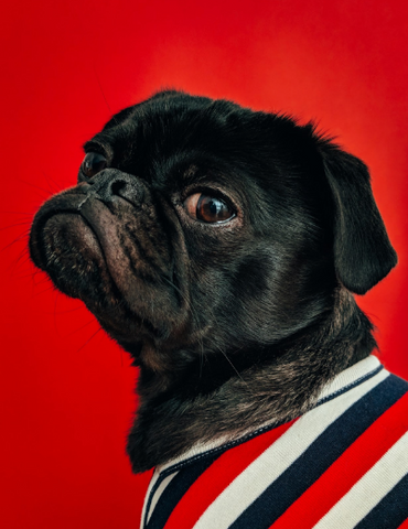 image of a black pug in striped sweater - slim wallet