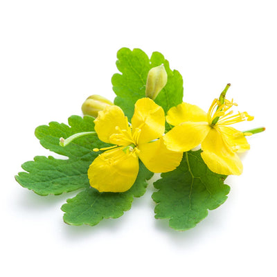 Celandine Uses as a Medicinal Plant