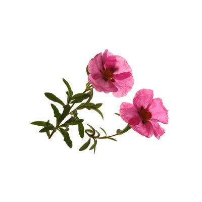 Organic Rock Rose Herb (Cistus incanus) - natural protection against ticks