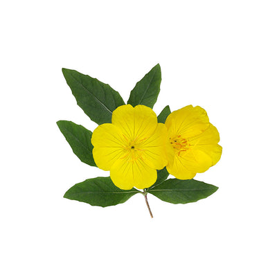 Evening Primrose (Oenothera semen) Dried Seeds