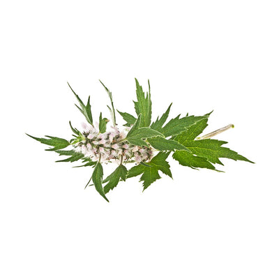 About Motherwort (Leonuri herba) Dried Herb