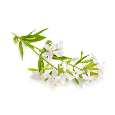 Soapwort (Saponaria officinalis) Dried Root Herb