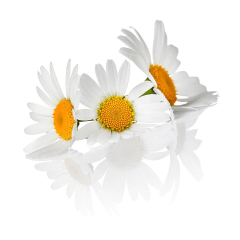Chamomile (Anthodium chamomillae) Organic Dried Flowers 50g 1.76oz | Biokoma.com