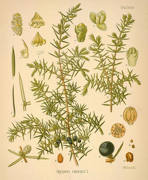 Juniper botanical image
