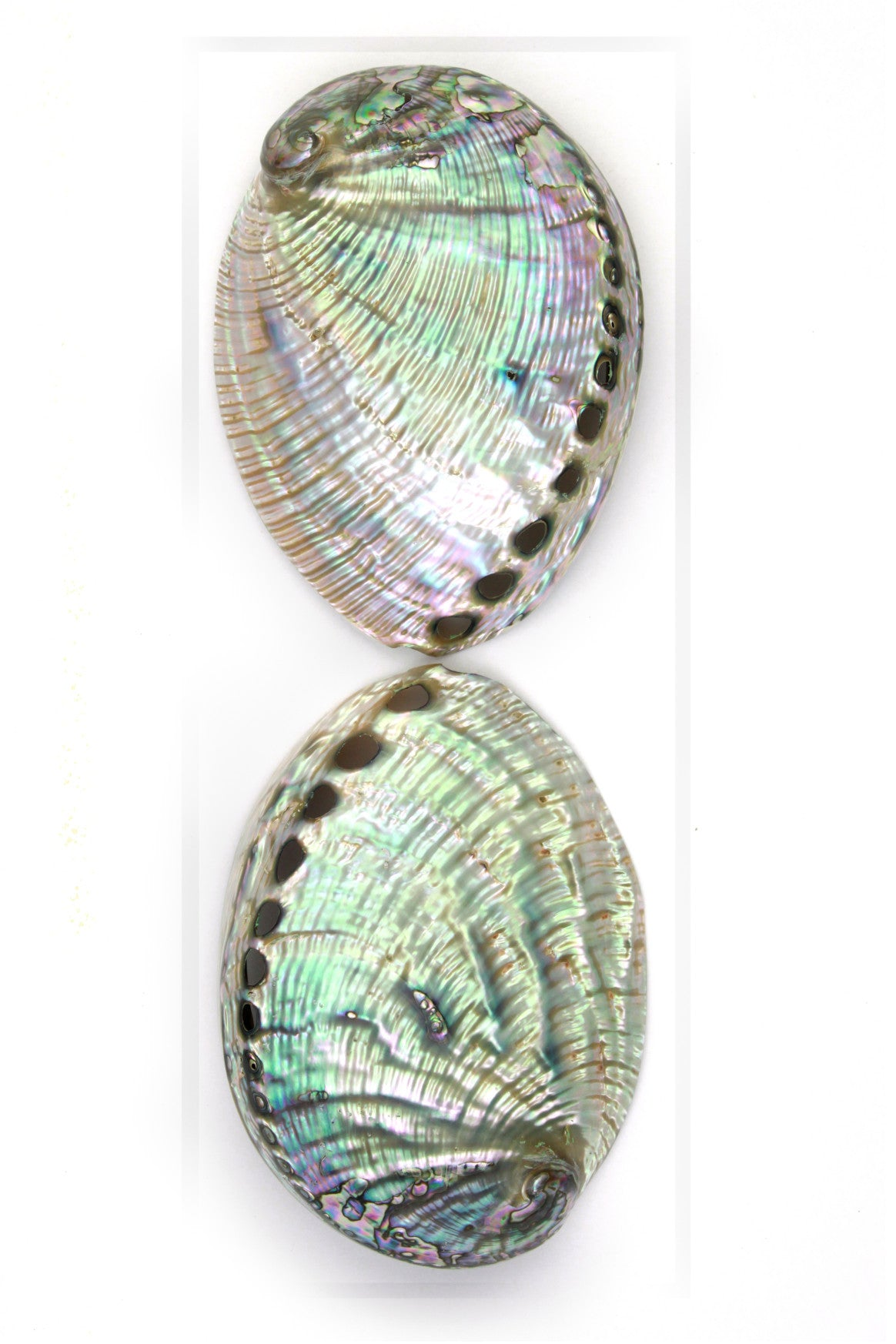 16 x 20 Silver Abalone Duo by Christopher Marley
