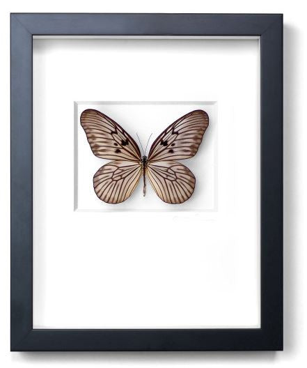 Champagne Ricepaper Butterfly by Christopher Marley