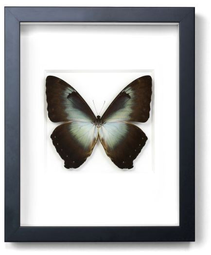 Morpho Phanodemus (Blue) by Christopher Marley