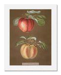 George Brookshaw (After), Pomona Britannica; or, A Collection of the Most Esteemed Fruits at Present Cultivated in this Country