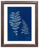 Anna Atkins, Fern Study (Chielanthes) Photogram