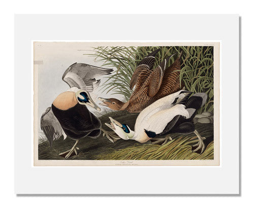 MFA Prints archival replica print of John James Audubon, The Birds of America, Plate 246, Eider Duck from the Museum of Fine Arts, Boston collection.