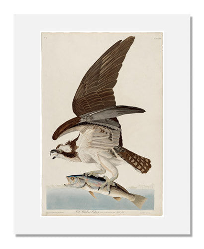 MFA Prints archival replica print of John James Audubon, The Birds of America, Plate 81, Fish Hawk from the Museum of Fine Arts, Boston collection.