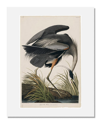 MFA Prints archival replica print of John James Audubon, The Birds of America, Plate 211, Great Blue Heron from the Museum of Fine Arts, Boston collection.