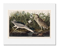 MFA Prints archival replica print of John James Audubon, The Birds of America, Plate 236, Night Heron or Qua bird from the Museum of Fine Arts, Boston collection.