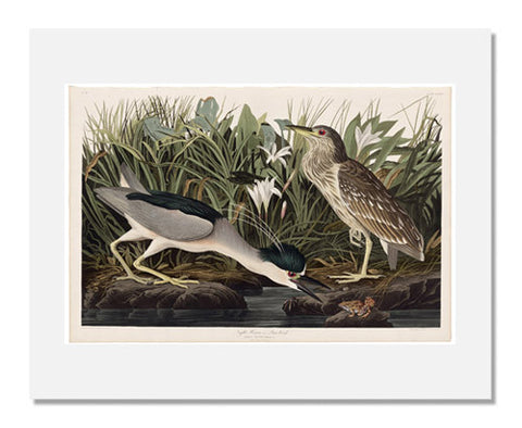 John James Audubon, The Birds of America, Plate 236, Night Heron or Qua bird