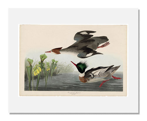 MFA Prints archival replica print of John James Audubon, The Birds of America, Plate 401, Red breasted Merganser from the Museum of Fine Arts, Boston collection.