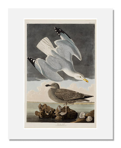 John James Audubon, The Birds of America, Plate 291, Herring Gull