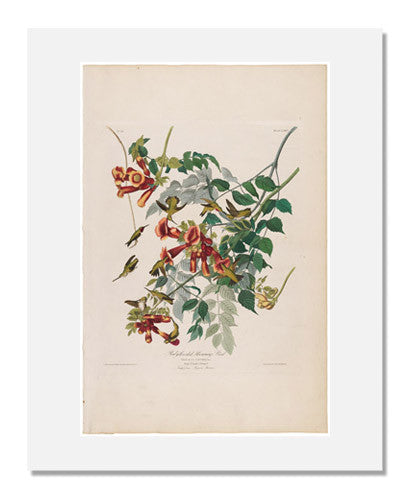 MFA Prints archival replica print of John James Audubon, The Birds of America, Plate 47, Ruby Throated Humming Bird from the Museum of Fine Arts, Boston collection.
