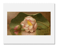 MFA Prints archival replica print of Martin Johnson Heade, Lotus Blossom from the Museum of Fine Arts, Boston collection.