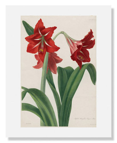 MFA Prints archival replica print of Barbara Cotton, Hybrid Amaryllis Regina vittata from the Museum of Fine Arts, Boston collection.
