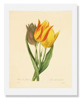 MFA Prints archival replica print of Langlois, Parrot Tulip from the Museum of Fine Arts, Boston collection.