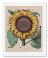 MFA Prints archival replica print of Large Sunflower from the Museum of Fine Arts, Boston collection.