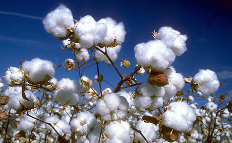 Cotton in its original form