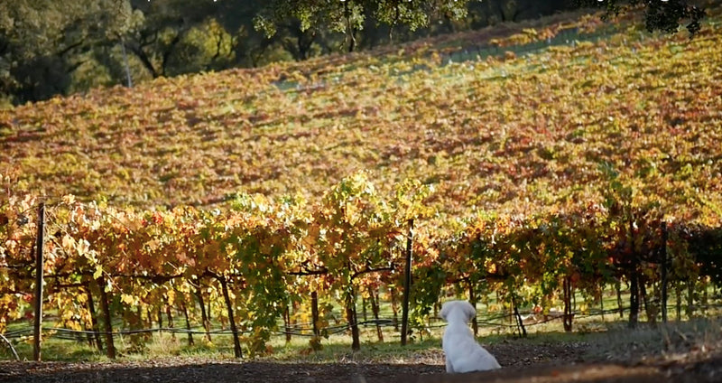 Going Wine Tasting? This Winery Welcomes Your Furry Best Friend!