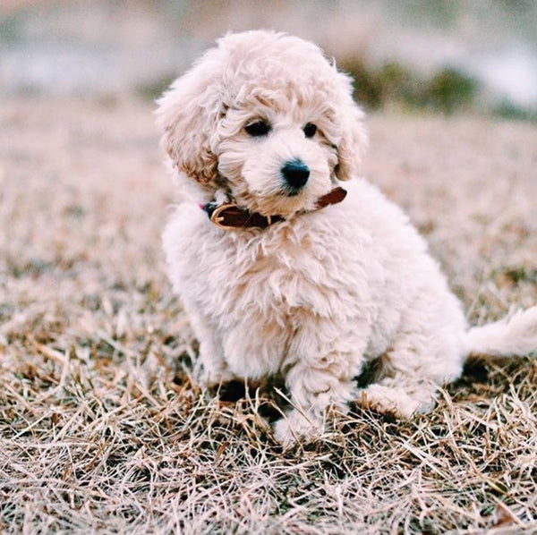 Sweet Mini Goldendoodle, Benny