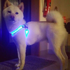 paw prime Paw Prime's LED Harness