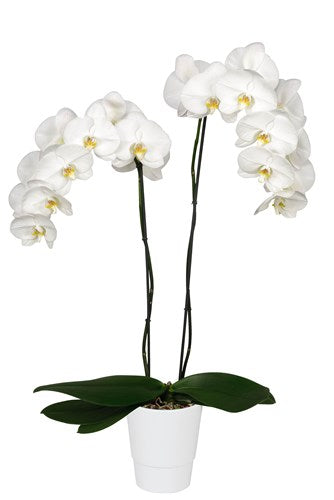Amazonia Orchid Collection