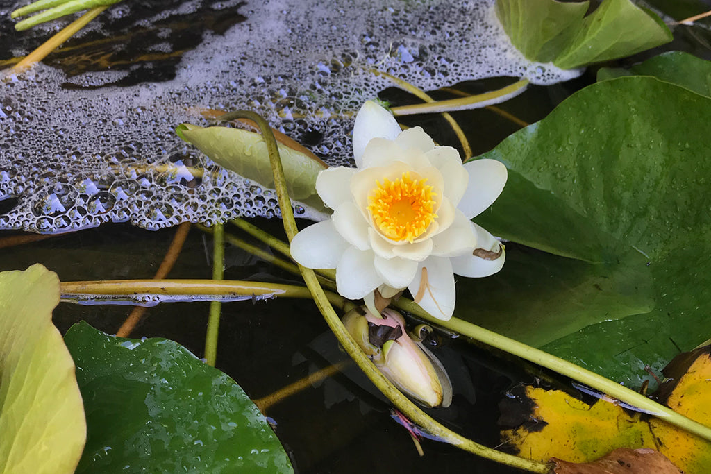 lily in pond uk