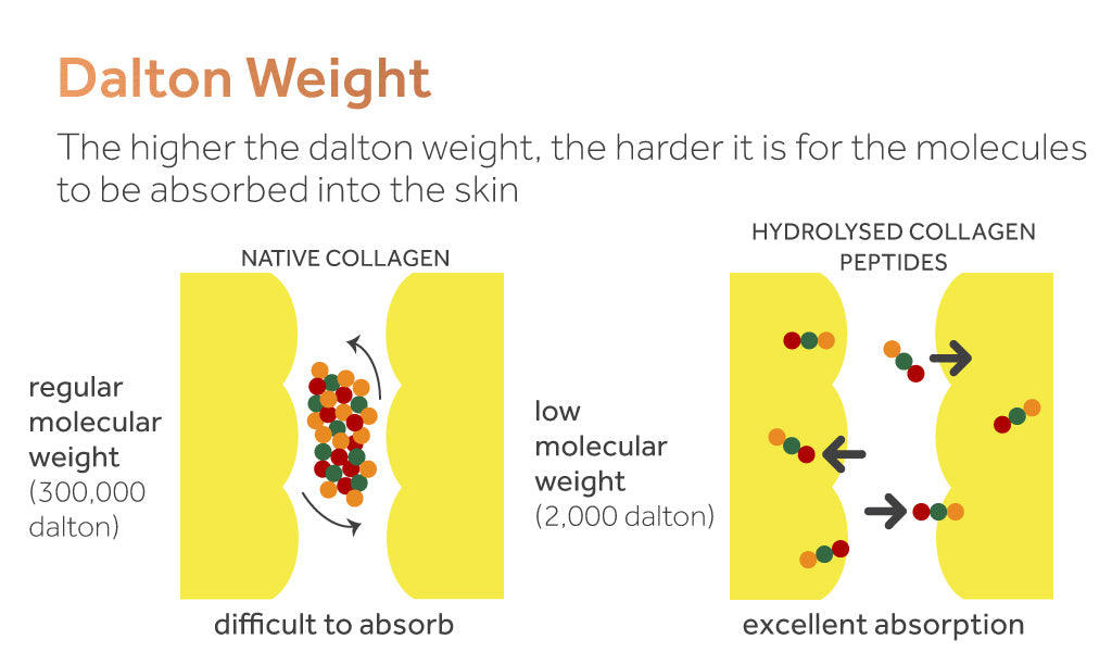 Image demonstrating the ease with which hydrolysed collagen peptides can be absorbed by the skin, compared to native collagen.