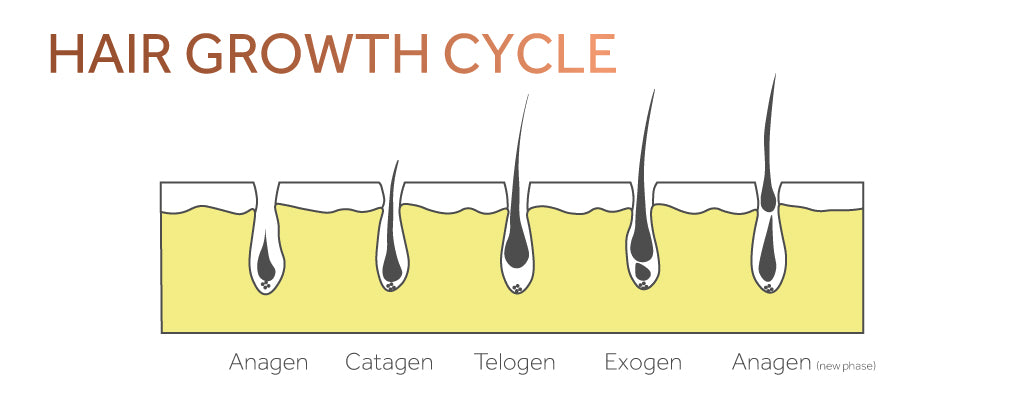Graphic showing the cycle of hair growth