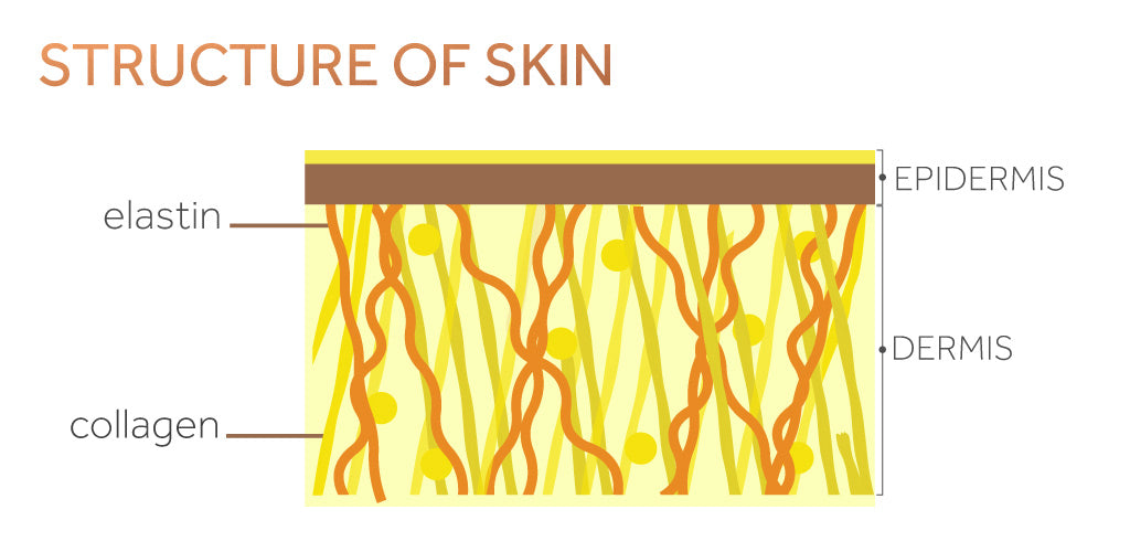 Graphic showing the structure of the skin with the dermis, epidermis, collagen and elastin