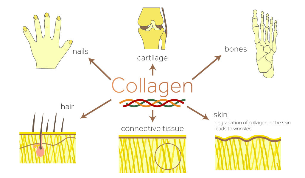 Diagram showing where collagen is found in the body